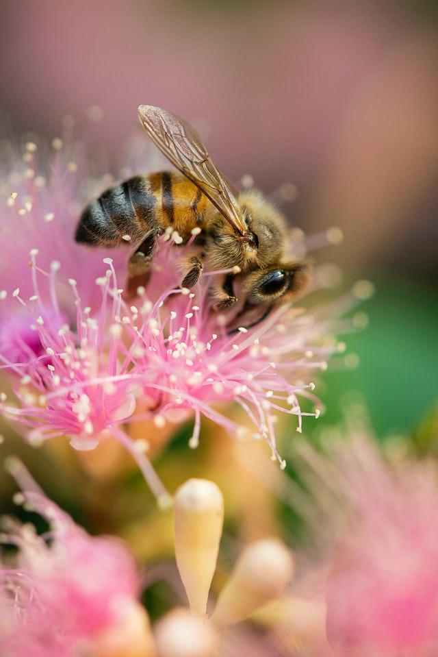 Čebela ki nabira cvetni prah na roza cvetu.